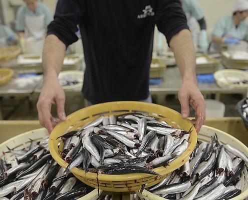 ¿Cómo se elaboran las anchoas en salazón?
